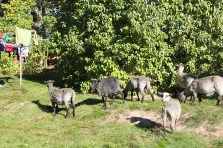 fåren1