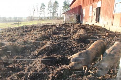 grisarna