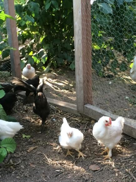 kycklingarna2