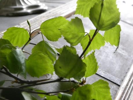 Björkblad på ett bord