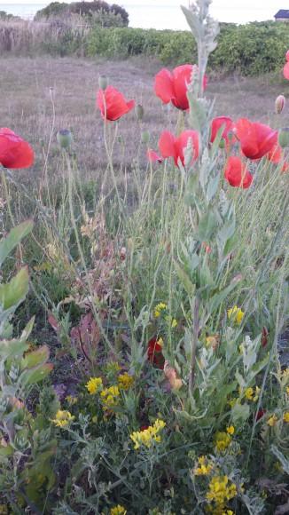 Vallmo och annan blomster på en vägren på Hallshuk Gotland