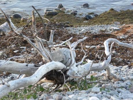 Trädstock på stenstrand nära havet