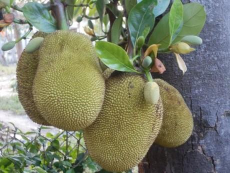 jackfruit-homestay
