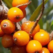 Havtornsfrukt på buske närbild