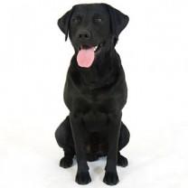 Svart labrador sitter på golvet med tungan ute