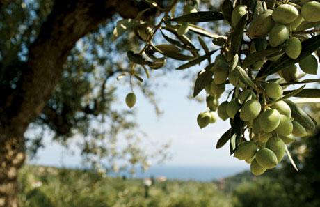 Olivträdets välgörande egenskaper
