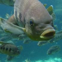 Fiskar med stora läppar simmar omkring i havet