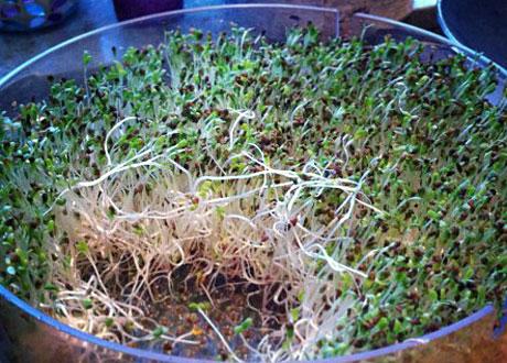 Groddar som växer i groddhus