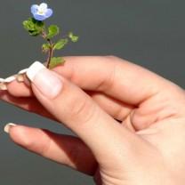 Hand med fina välskötta naglar håller i liten blå blomma