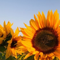Solrosor på fält blå himmel