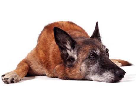 Ett tillskott för hundens slitna leder