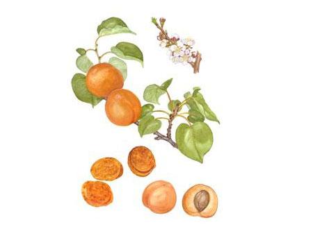 Aprikos tecknad