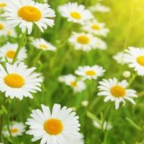 7 ätbara blommor