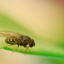 Närbild på bananfluga på ett grönt blad