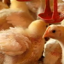Små kycklingar