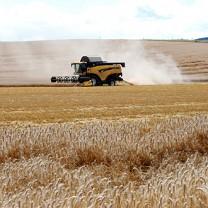 Skördetröska på vetefält
