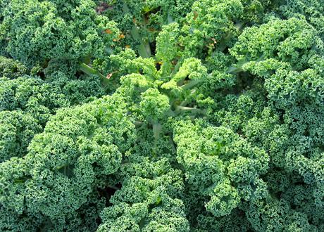 Ekologisk grönkål odling