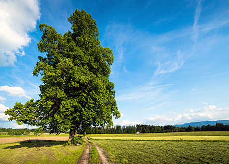 Träd på åker blå himmel