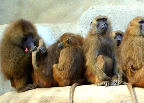 En grupp apor