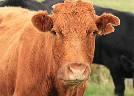 närbild ko
