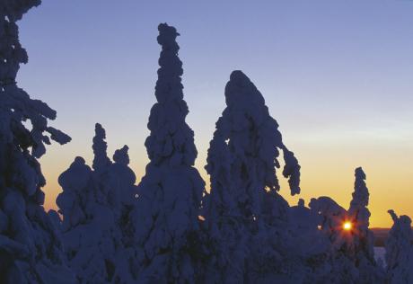 Snöbeklädda grantoppar solnedgång i bakgrunden
