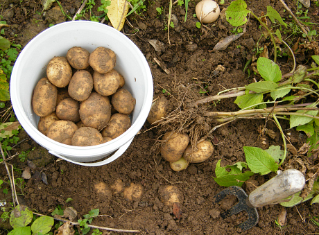 potatis i jord