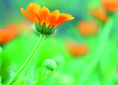 Närbild på marigold blommor