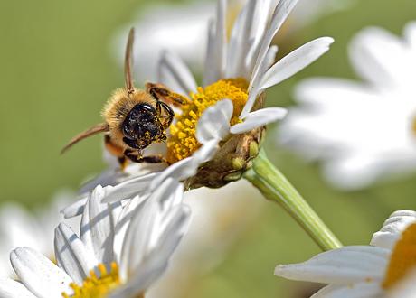 Bi på blomma med pollen.