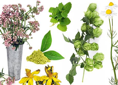 Vänster till höger: Valeriana, johannesört, grönt te, citronmeliss, humle, kamomill.