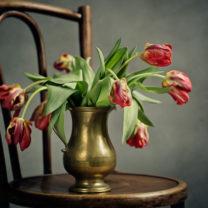 Rosa vissnade tulpaner i en guldvas på en stol