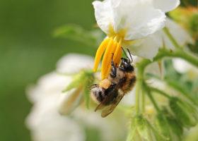 Bi sitter på vit blomma