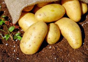 Potatisar på jord