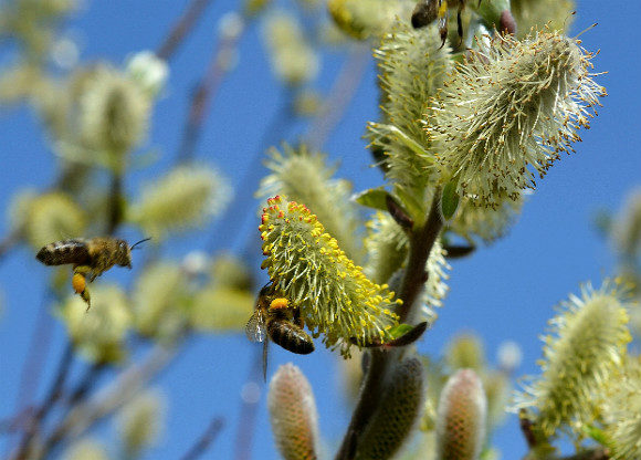 Humlor och pollen