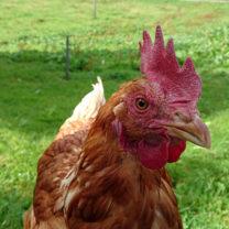 Närbild kyckling