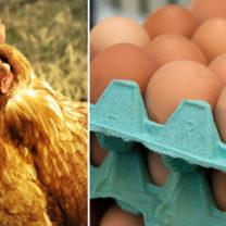 Kolagemmed höna oh ägg