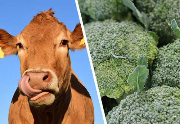 broccoli ko