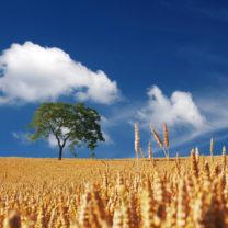 vetefält i solen