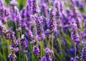 Blommande lavendel