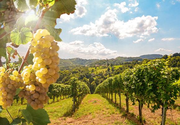 Fält med vinrankor, gröna druvor