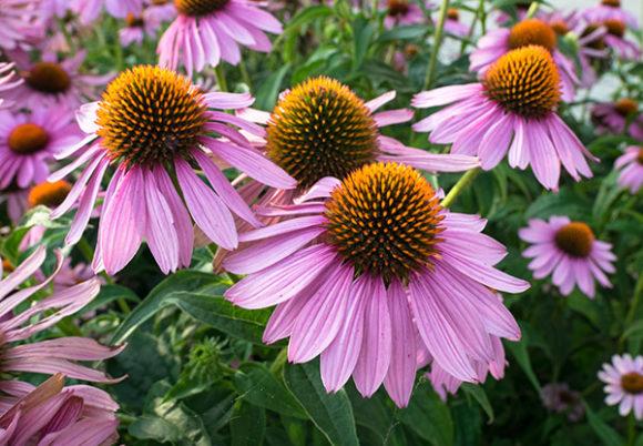 echinacea blomma