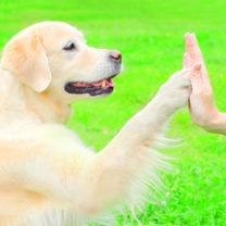 Golden retriever-hund håller sin tass mot en människas handflata