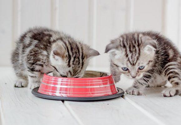Två grå kattungar äter ur en röd matskål