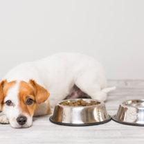 Liten hund ser olycklig ut och ligger ner bredvid sina matskålar