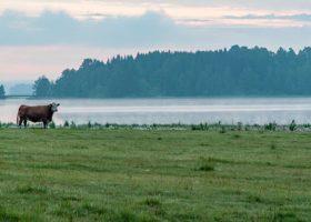 Ko på en grön äng vid en sjö i Värmland