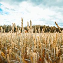 Gult vete fält i, höstlig natur, landsbygd, odling, skördetid