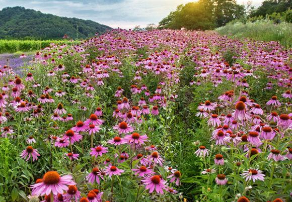 echinacea blommor