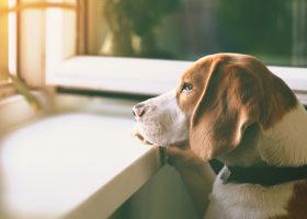 Hund fotad i profil tittar ut genom fönstret