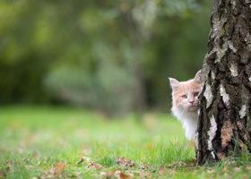Vit katt kikar fram bakom trädstam