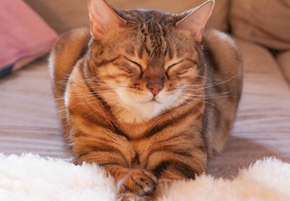 Brunrandig katt ligger ner och blundar