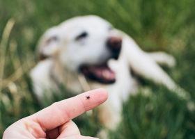 Finger med en fästing på, framför en vit hund som ligger i gräset